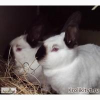 Племенные Калифорнийские кролики
