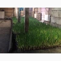 Продам перо зеленый лук