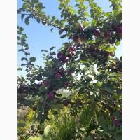 Яблоки оптом, стандарт и нестандарт