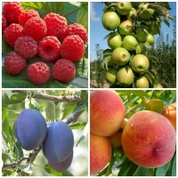 Саженцы плодово-ягодных культур в розницу и оптом из питомника