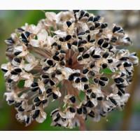 Семена лука БРАТКО первой репродукции (Киргизия)