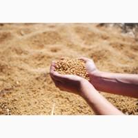 Семена сои Анастасия РС1 (урожай 2019)