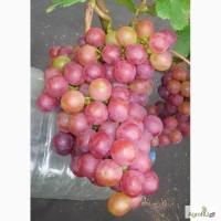 Саженцы и черенки винограда удмуртской местности