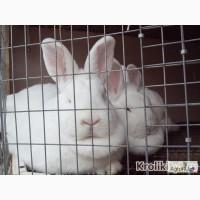 Племенные Новозеландские белые кролики