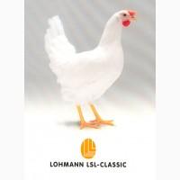 Инкубационное яйцо несушек Ломан ЛСЛ Классик оптом