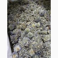 Мордовник обыкновенный шишка (цветки) (оптом от 5кг)