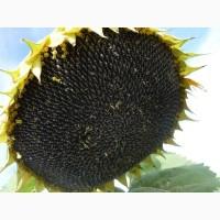 Тунка Limagrain семена гибридов подсолнечника