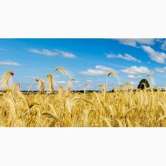 Семена озимой пшеницы Дуплет