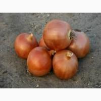 Семена лука ПАНДЕРО первой репродукции (Киргизия)