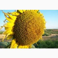 Гибриды семена подсолнечника Сузука (Сингента, Syngenta) (Express)