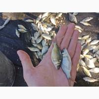 Малек карпа, толстолобика. Рыбопосадочный материал (сеголетка)