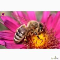 Пчелопакеты Карпатка 2017
