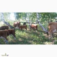 Бычки герефордской породы 150-300 кг