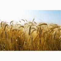 Семена озимого ячменя Виват, Тимофей, Добрыня, Ерема