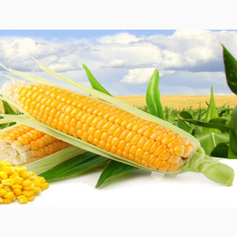 Ооо элеватор семена кукурузы сайт все элеваторы пензенской области