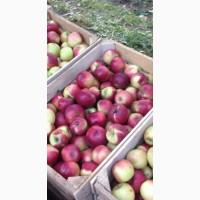 Свежий урожай яблок Беш Юлдуз открыт для оптовых заказов