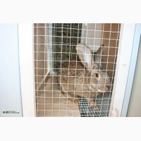 Кролики порода Ризен и Серый великан