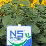 Гибриды семян подсолнечника кукурузы