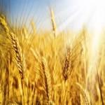 Продаём пшеницу 3 класса.гост