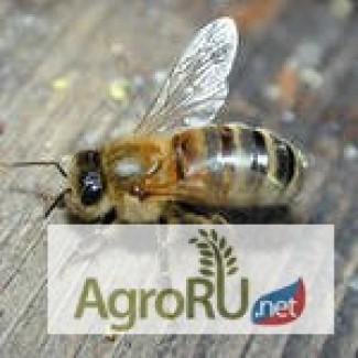 Пчелопакеты Карпатка бесплатная доставка по всей России