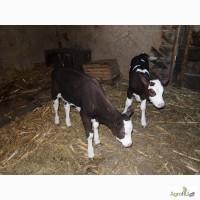 Телята, бычки от 2х недель до 2х месяцев