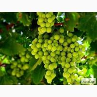 Продам виноградники 91 Га в Абинском районе