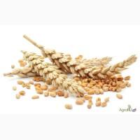 Семена озимой пшеницы сорт Таня