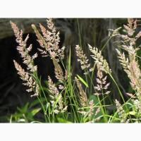 ООО НПП «Зарайские семена» продает семена овсяницы луговой оптом и в розницу