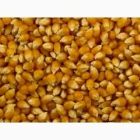 Cемена гибридов кукурузы ДКС (МОНСАНТО/Monsanto)