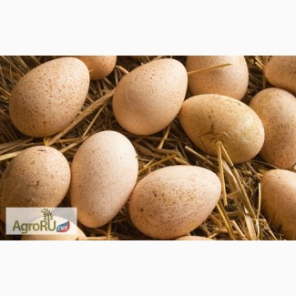 Инкубационное яйцо БИГ-6, однодневные индюшата
