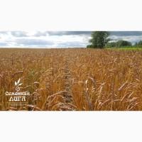 Семена пшеницы яровой