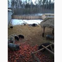 Венгерская пуховая Мангалица