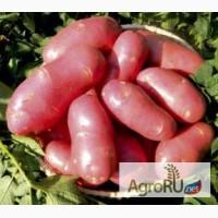 Семенной картофель из Беларуси по всей России