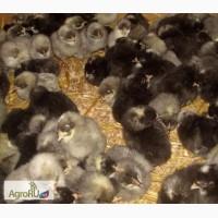 Цыплята кур Доминант с цветным и обычным яйцом