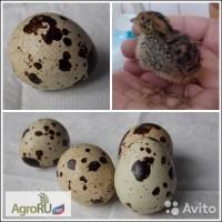 Продаём перепелиные яйца инкубационные