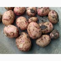Семенной картофель Жуковский