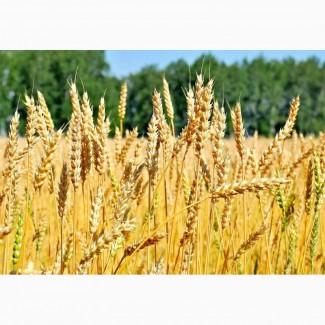 Элитные семена озимой пшеницы Гром, Юка, Таня
