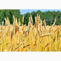 Семена пшеницы Лидия, Ермак, Аскет, Станичная, Зерноградка 11