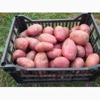 Продаю молодой картофель оптом в Краснодарском крае, картофель оптом краснодар