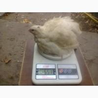 Перепела-Техасс, Красная шапочка - инкубационное яйцо, суточные цыплята