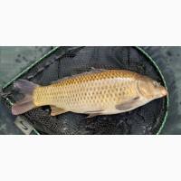 Товарная рыба: КАРП