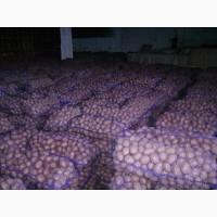 Картофель собственное производство