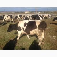 Коровы дойные Черно-пестрой породы