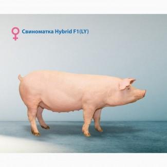 Гибридная свинка Отрада LY