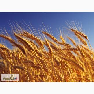Продаем пшеницу 3 класса мягкого. сорта