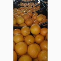 Предложение для оптовиков – партия свежих грейпфрутов по выгодной цене