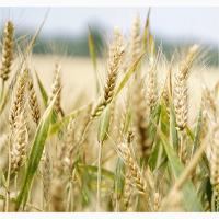 Семена озимой пшеницы сорт Степь