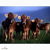 Крс, бычки 55-125 кг, о 150 руб, телята. Срочно купим