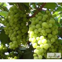 Саженцы и черенки винограда для екатеринбурга