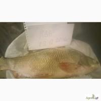Речная рыба Лещ, Язь, Щука, Ряпушка, Сырок